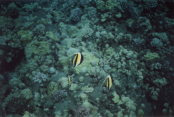 Hawaii: SCUBA Moorish Idols