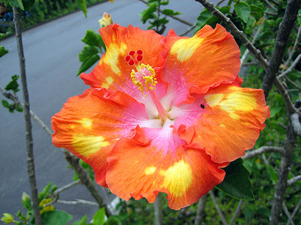 Hawaii 2006: Flower: Hibiscus 5