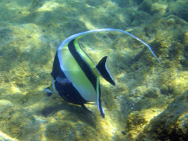 Hawaii 2006: Snorkeling: Moorish Idol