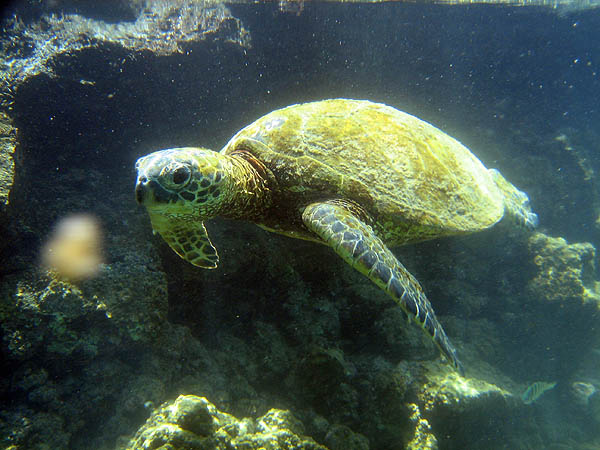 Hawaii 2006: Snorkeling: Sea Turtle 3
