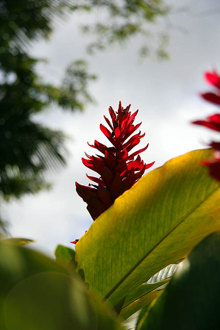 Hawaii 2006: Flower: Red Ginger 2