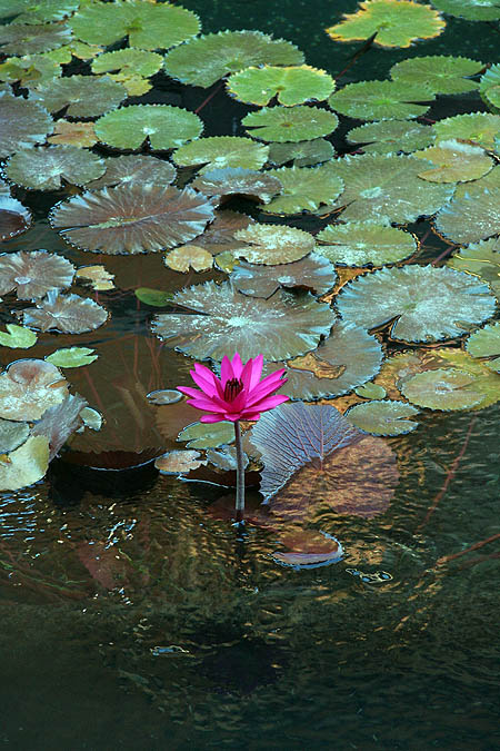 Hawaii 2006: Flower: Water Lilly 2