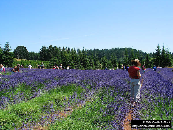 Lavender Festival 2004: The Field