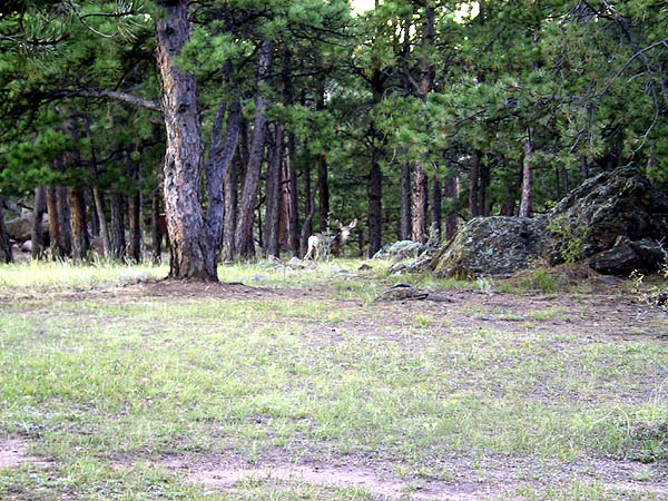 White Ranch: Deer at Campsite
